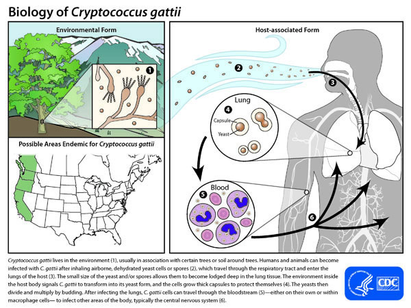 Life Cycle of Cryptococcus gattii: Environmental Form, Host-associated Form, and Areas of Endemic for Cryptococcus gattii. Cryptococcus gattii lives in the environment (1), usually in association with certain trees or soil around trees. Humans and animals can become