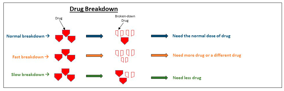 Drug Breakdown: with a normal breakdown a normal dose of the drug is needed to be broken down - with a fast breakdown more drug or a different drug is needed - with a slow breakdown less drug is needed