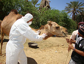 Veterinarian Hasan Alkaf, takes samples from a camel during the first reported Middle East Respiratory Syndrome Coronavirus (MERS-CoV) case in Haramout, Yemen in April 2014. Investigation was led by Yemen FETP residents. Courtesy of Mohammed Ba Saleh.