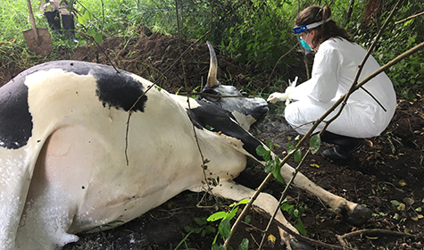 Samples being collected from a suspect cattle carcass in Kiruhura, Uganda. Photo: Bao-Ping Zhu.