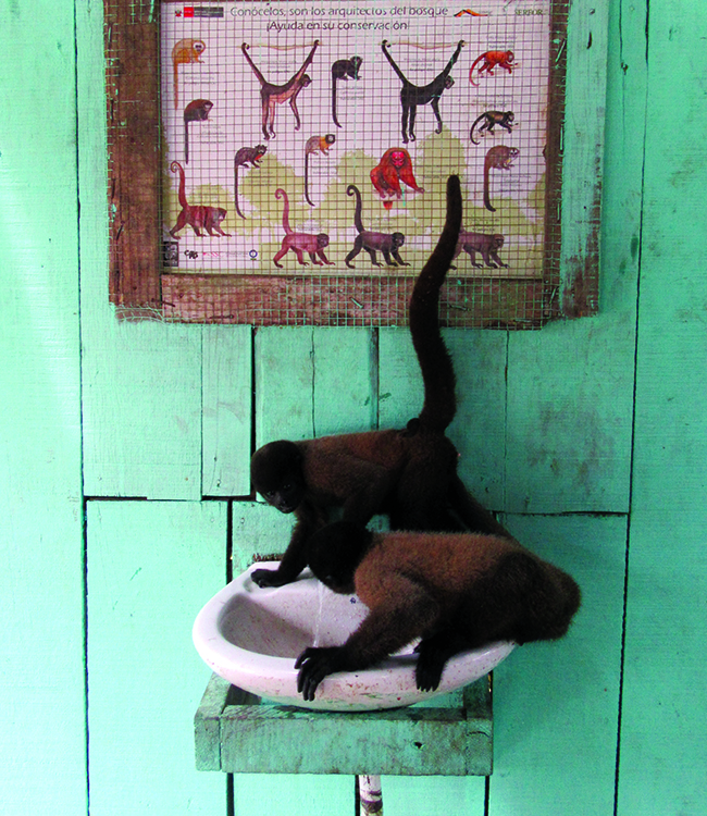 Juvenile woolly monkeys drinking from a fountain at a rescue facility in Iquitos, Peru. Photo: Stephanie Salyer