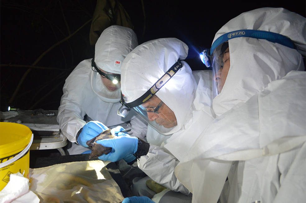University of Pretoria and South African National Institute of Communicable Diseases scientists conduct field work to trap and sample bats, testing for novel and pathogenic viruses.