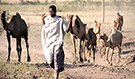 Close interaction between Ethiopian herder and camels, captured in 2011. (Source: Hardeep Sandhu)