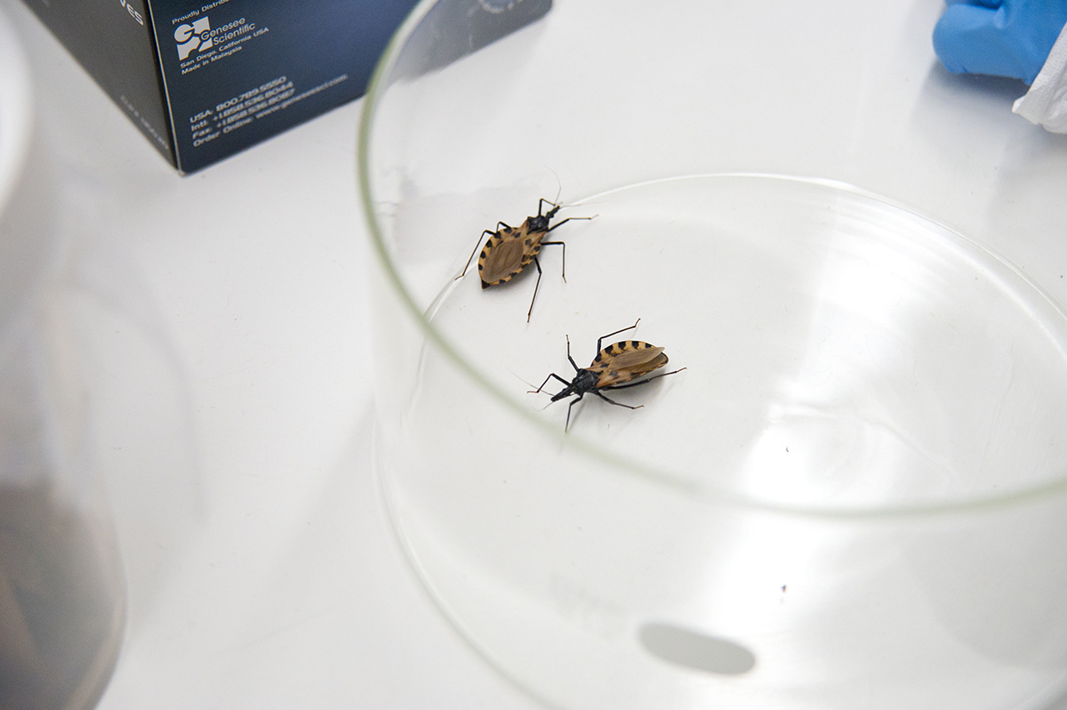 Triatomine bugs in CDC lab for ICD story