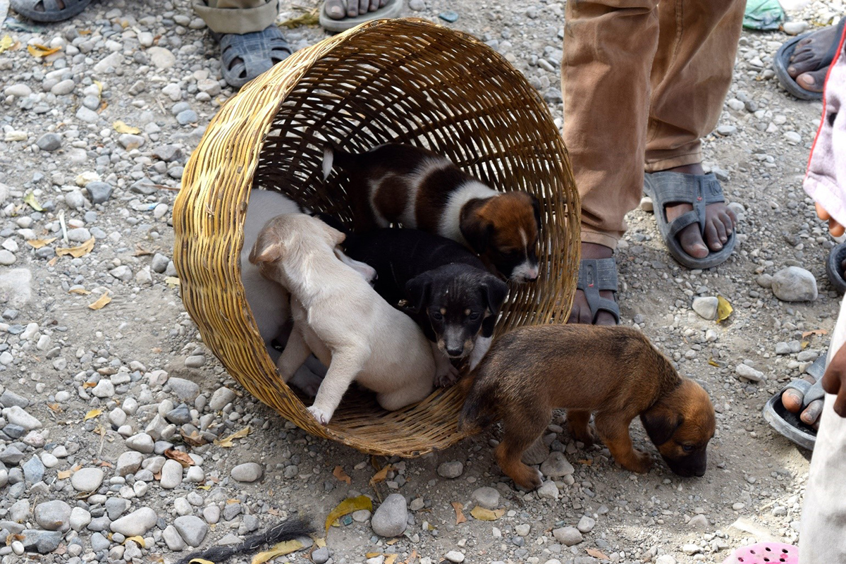 Puppies awaiting vaccination during one of the mass vaccination events in Haiti.