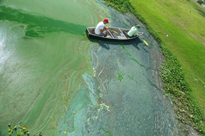 man rowing boat through green algal bloom