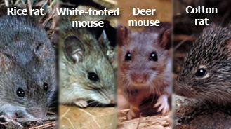 U.S. rodents that can carry hantavirus.