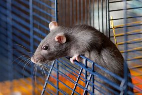 rat climbing out of cage