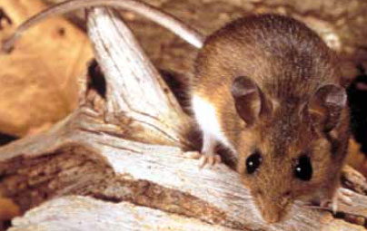 A deer mouse is 4-9 inches long from head to tip of tail. It is pale gray to reddish brown and has white fur on its belly, feet, and underside of the tail. It has oversized ears.