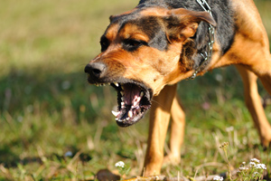 dog in an aggressive stance showing teeth