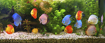 Brightly colored fish swimming in an aquarium.