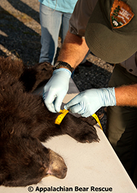 National Park Service official prepares a bear to release it into the forest.