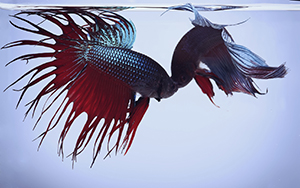 Siamese fighting fish, commonly called betta fish, fighting in a single aquarium.