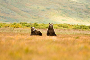 coastal brown grizzly bears in alaska