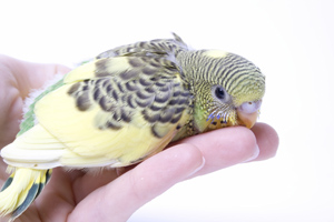 Young budgie bird bites woman's hand