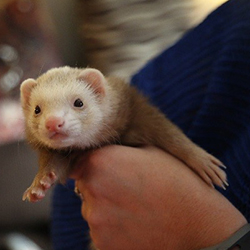 Ferret being held by woman.