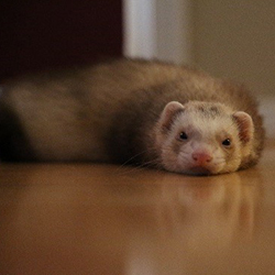 Ferret laying on the floor.