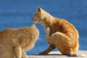 cats scratching at fleas
