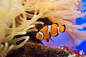 Clownfish swimming near an anemone.