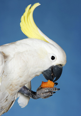 Alert cockatoo eating