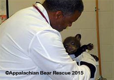 Cub gets a check-up at the University of Tennessee College of Veterinary Medicine in Knoxville.