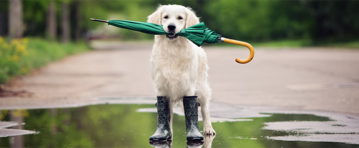 Dog in a puddle of rain wearing rubber boots with an umbrella in its mouth
