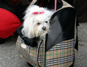 Dog in rolling luggage