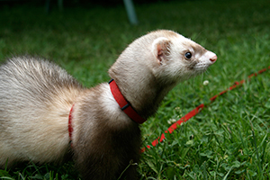 ferret appears alert and curious of its surroundings