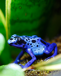 A bright blue poison dart frog sits on a leaf