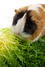 A guinea pig nibbles on green leaves