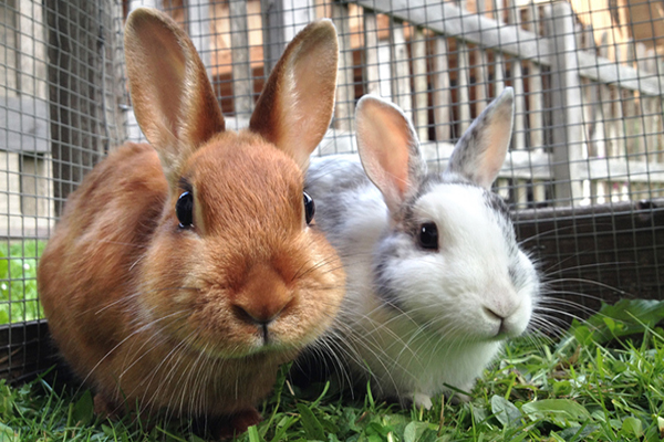 Two bunnies in front of a cage