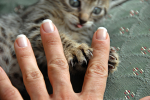 kitten playing with a person's fingers