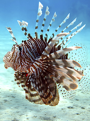 Common lionfish with many sharp spines.