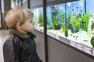 Little boy examines fish in a pet store.