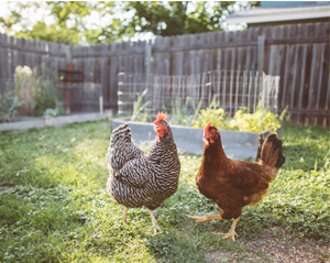 Backyard Poultry | Healthy Pets, Healthy People | CDC