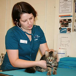 Veterinarian checking kitten.
