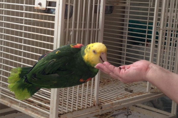 Parrot eating food out of hand.