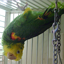 Parrot hanging upside-down in a cage.