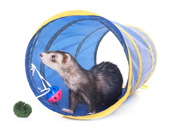 ferret giardia treatment)