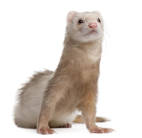 ferret giardia treatment