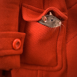 A rat peeks out of coat pocket.