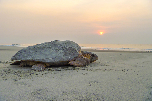Sea turtle on a beach with the sun setting.