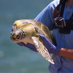 Sea turtle being returned to the sea
