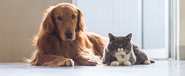 Golden Retriever dog and British short-haired cats