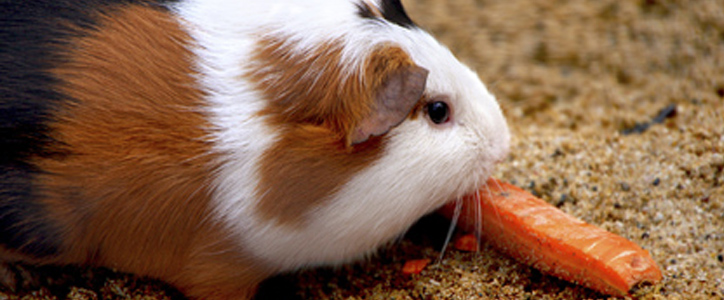 A guinea pig eating a carrot