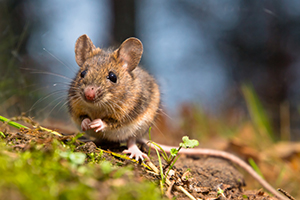 will wood mouse