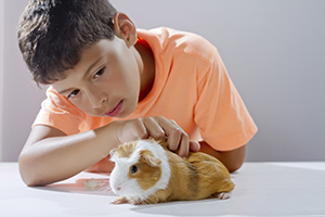 Young boy examines his guinea pig