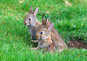 young rabbits on the grass
