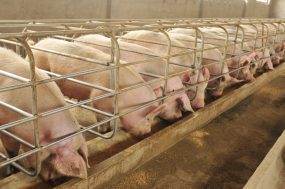 confined pigs in pens eating