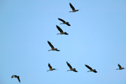 A closeup view of flying geese.